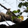 秋の公園でエサを探すコゲラ