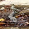 枯葉の水場で混浴する2羽のエゾビタキとキビタキ♀