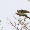 桜の木の間を飛翔するツツドリ