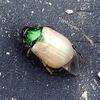 羽化したばかりのコガネムシを発掘