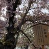 5月1日・水曜日 【うんちくま15:造幣局の桜 4】