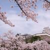 今が満開!姫路城の桜が本気出してた【関西花見旅行#2】