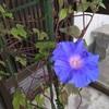 ようやく咲いた朝顔1輪