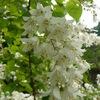 ウツギ(卯木)の白い花