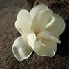 コブシとモクレン、似た花も並べて比べてみると?