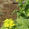 菜の花の続く小径や雨煙る