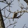 木の上で囀るホオジロ