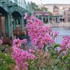 夏到来の合図。イッサイサルスベリが咲き始めました。