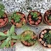 ディル・パセリ・イタリアンパセリ・セージ・ローズマリー・レモンタイムをミニ鉢に植えました