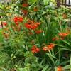 庭の花野菜