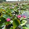 [タイ] バンコクから日帰りできる蓮の池 - Red Lotus Floating Market