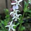 シロバナマンテマの花