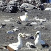西之島、海鳥が飛来…噴火後初の上陸調査で確認