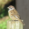 Japanese Sparrows: Most familiar bird. Differences of them