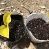 ポトスライム 屋外栽培