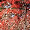 晩秋の十月桜:寺家公園