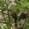 カオヤオの野鳥 ピンぼけアオゲラ