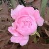 「座れば牡丹」の開花が、もう少し!