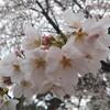 ステファニーと眺めた桜。〜愛猫の一周忌〜