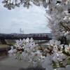 関西出張中の休日は、神戸の山奥でプチ桜巡りをしてみましたよ。