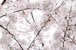 ゆっくりお花見できる!東京都内の絶景の桜が楽しめるレストランとカフェ7選