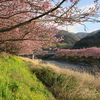 2月に咲く桜!伊豆の河津桜の見頃、混雑状況、アクセスは?【静岡】