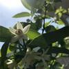 カボスの花ひらく