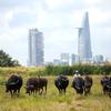 都市開発が進むホーチミン2区の空き地を使い水牛の放牧するベトナム人男性