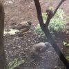 賛否あるムクドリ(椋鳥)🐤