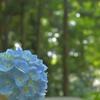 紫陽花を撮る