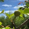 梨が大きくなって来た!