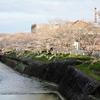 川沿いにどこまでも続く桜のトンネル!桜の名所【井原堤】@井原市