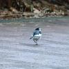 【野鳥】小鳥祭り&シロハラ@奈良山公園