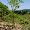 荒島わらび園(村上市荒島)で久しぶりの山菜採りを堪能