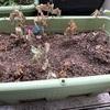 枝豆が枯れちゃいました