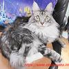 わがまま猫シルル3歳(仔猫の頃の動画あり):メインクーン猫シルルのもふもふ