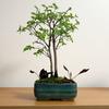 盆栽エノキの若葉がしげる