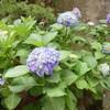 紫陽花、マスクありき
