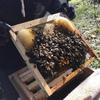 ニホンミツバチ捕獲のあれこれ!巣枠式から重箱式!分蜂群!?