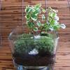 苔(コケ)は風に弱いので。苔鉢-185