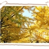 昭和記念公園の銀杏並木へ
