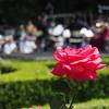 GWお出かけ:今年は旧古河庭園のバラがGW中に満開に!