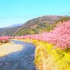 帰れマンデーみっけ隊でも訪れた河津桜祭を満喫する方法