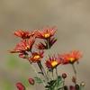 「菊」の花。