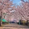 臨港線跡の桜