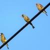 田んぼの「Yellow Bird(イエロー・バード)」は、何処に!