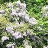藤の花🌱🌱野生の藤の花も綺麗🌿🌿