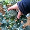 【ブロッコリー】遅まきブロッコリーの収穫!