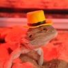 フトアゴヒゲトカゲの飼育に日光浴は必要?バスキングにおすすめのライトを紹介