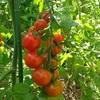 モロッコインゲンとミニトマトが育ちました!